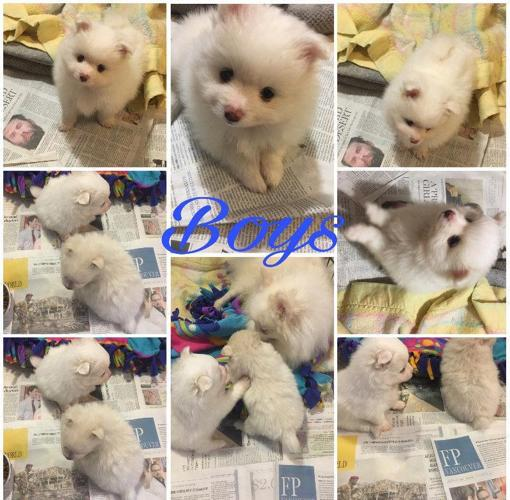 Pomeranian Pom For Great Homes Reduced