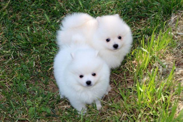 pomeranian california pomeranian puppies akc for sale in sacramento california 2570