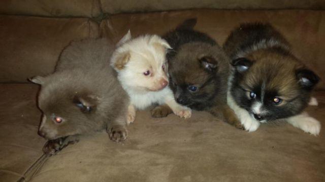 Pomeranian Puppies AKC