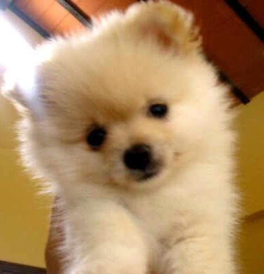 pomeranian breeders va pomeranian puppies for sale in norfolk virginia 2959