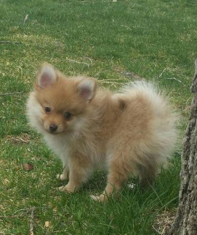 pomeranian puppies for sale colorado pomeranian puppies for sale in pueblo colorado classified 6705