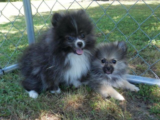 Yorkie Poo Puppies For Sale Virginia Beach