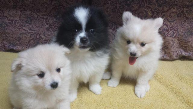 Pomeranian Puppies Ckc Registered For Sale In Houston Texas