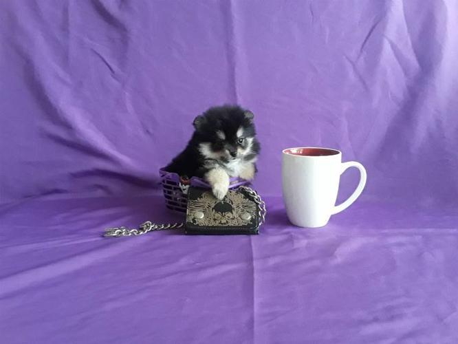Pomeranian Puppies For Adoption For Sale In Atlanta Georgia