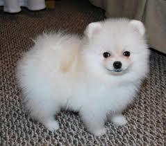 Pomeranian Puppies For Free Adoption For Sale In Bloomingdale