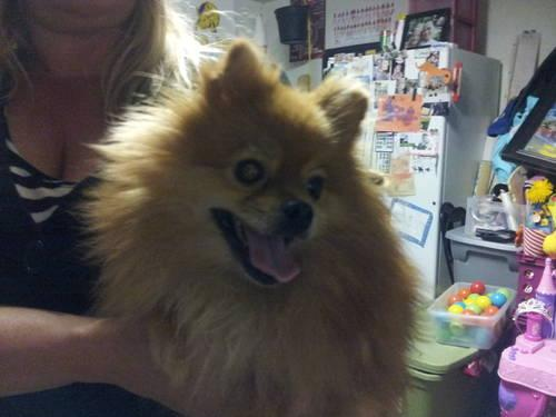 Miraculous Pomeranian Puppies For Free In Texas The Cutest Puppies Hairstyles For Women Draintrainus
