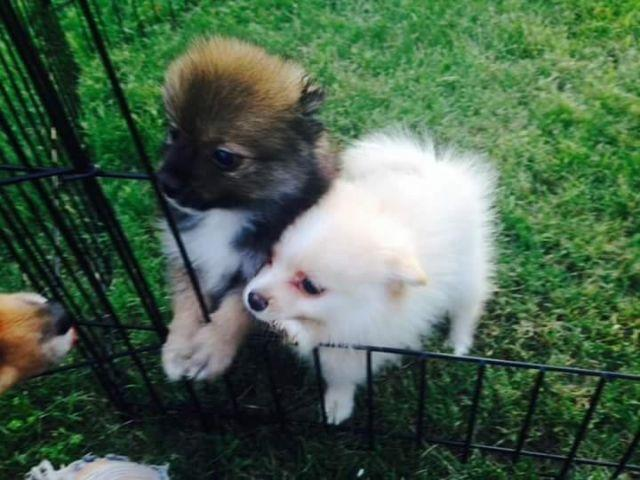 pomeranian breeders in tn pomeranian puppies for sale for sale in johnson city 8258