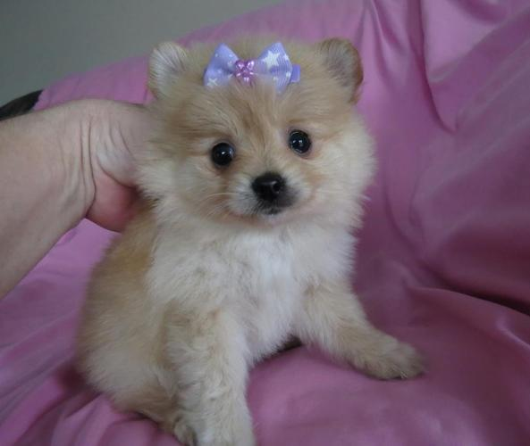 pomeranian for sale in oregon pomeranian puppies tiny size for sale in florence 9323