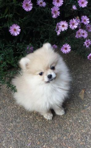 pomeranian for sale in oregon pomeranian puppy 11 weeks old puppies for sale in portland 6394