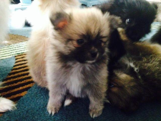 pomeranian puppies for sale in pittsburgh pa pomeranian puppy bobby male 8 weeks old on friday 7276
