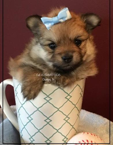 Pomeranian For Sale In Tennessee Classifieds Buy And Sell In