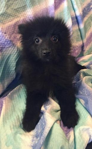 Pomeranian Puppy for Sale - Adoption, Rescue