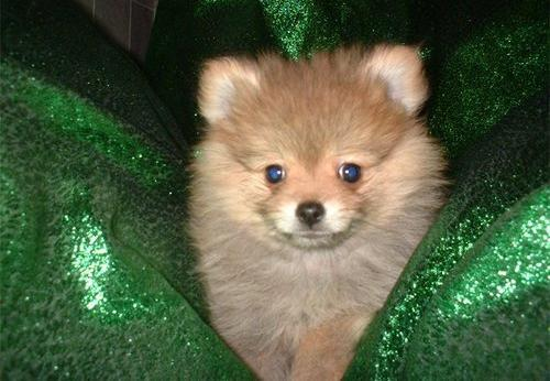 Pomeranian Puppy For Sale Adoption Rescue For Sale In Birmingham