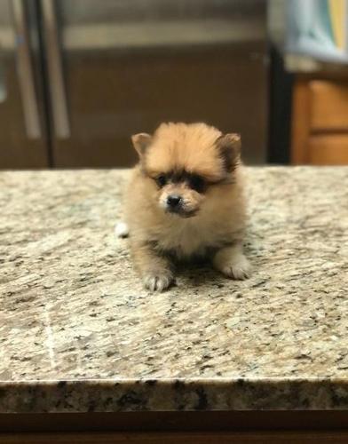 Pomeranian Puppy For Sale Adoption Rescue For Sale In Dallas