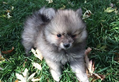 Pomeranian Puppy For Sale Adoption Rescue For Sale In Denver