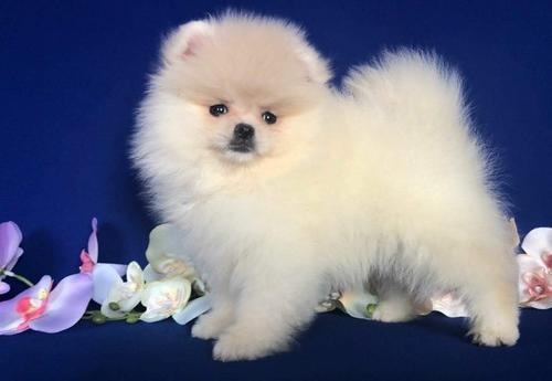 pomeranian breeders ma pomeranian puppy for sale adoption rescue for sale in 3043