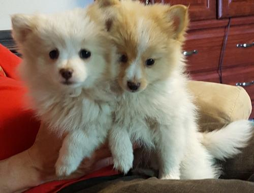 Pomeranian Puppy for Sale - Adoption, Rescue for Sale in ...