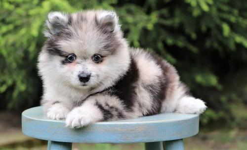Pomeranian Puppy for Sale - Adoption, Rescue