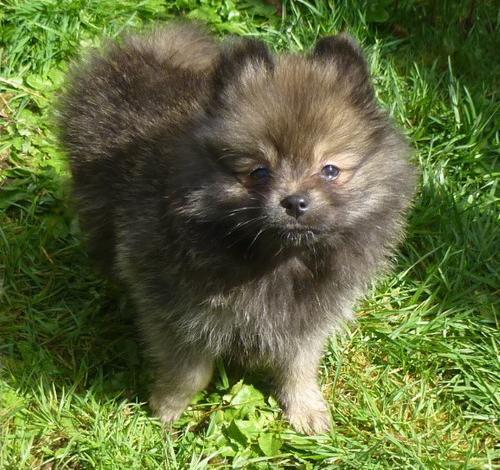 Pomeranian Puppy for Sale - Adoption, Rescue for Sale in Czechia