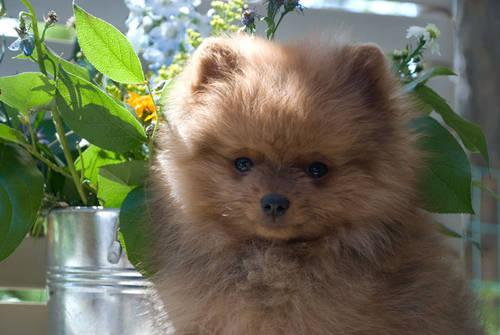 Pomeranian Puppy for sale. AKC Registered, Champion