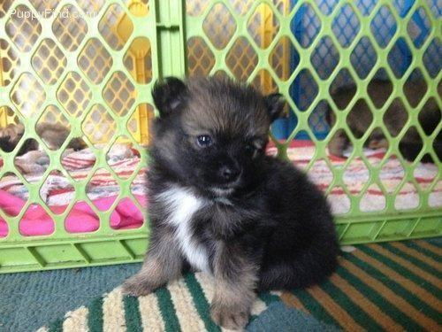 pomeranian puppies for sale in pittsburgh pa pomeranian puppy male 6 weeks old ready sept 6th 7774