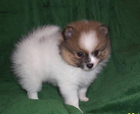 Pomeranian Puppy Parti Pom Male 7 weeks Old APRI