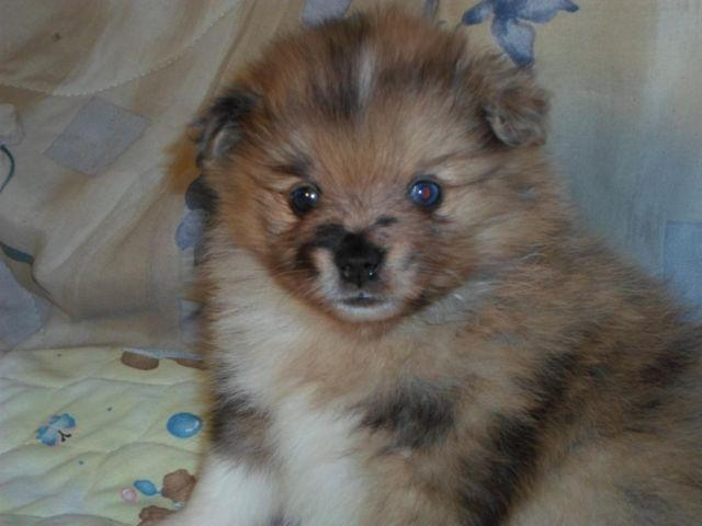 Pomeranian Puppy Red Merle w/Blue Eyes Registered~HOLD for ...