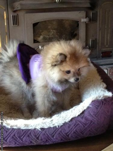 Pomeranian Puppy (Teacup)