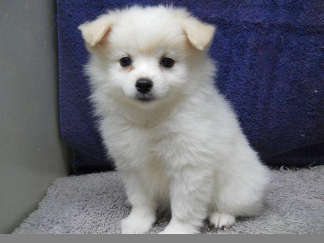 Pomeranian Puppy White Female Ckc Registered For Sale In Houston