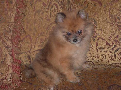 Red Pomeranian