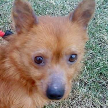 Pomeranian Reggie Small Adult Male Dog For Sale In