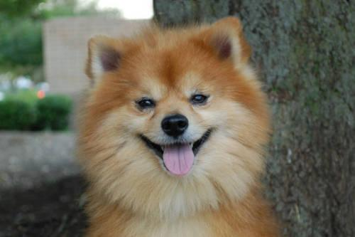 pomeranian rescue ky pomeranian rudy small adult male dog for sale in 2094