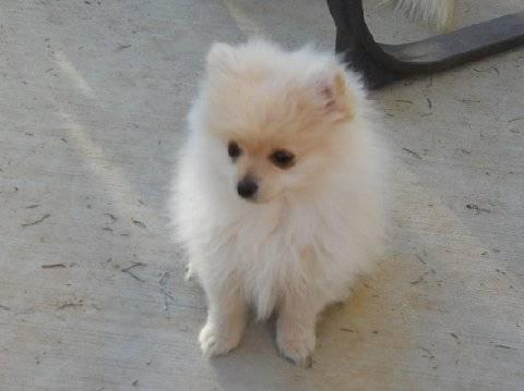 Pomeranian Sweet Baby Boy 20 Wks For Sale In Sun City
