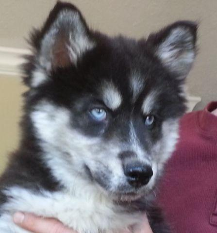 Pomsky Interested In A Ponsky For Sale In Salisbury North Carolina Classified