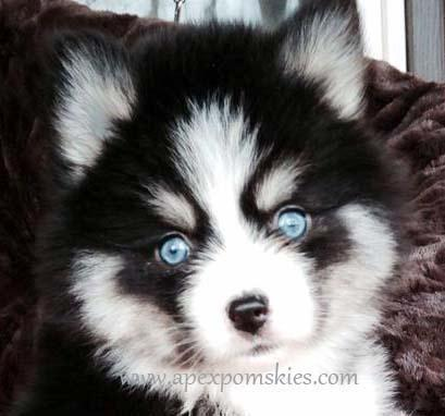 Teacup Pomeranian For Sale In Tennessee Classifieds Buy And Sell