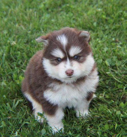 Pomsky Puppies For Sale In Texas