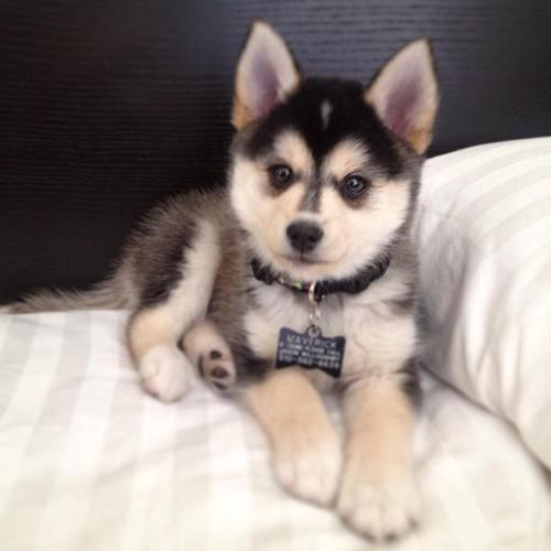 pomsky puppies for sale in oregon