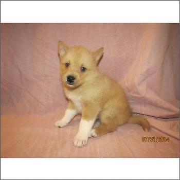 Pomsky puppies for sale on Long Island NewYork   call us 631-923-3112