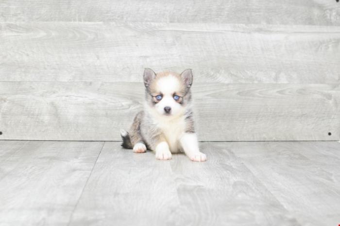 Pomsky Puppies For Sale! Sky!! ( F ), Www premierpups com
