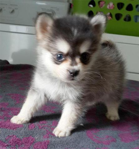 pomsky puppies for sale in michigan