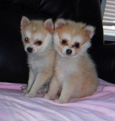 Full-Grown Pomsky Puppies