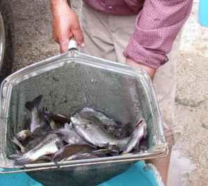 Pond Fish and Koi for Sale (Orangeburg/Camden/Florence