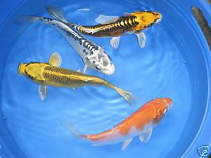 Pond fish lg mouth bass koi catfish stripers for Mosquito fish for sale