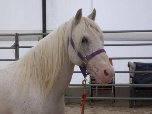 Pony - Lance - Small - Adult - Male - Horse