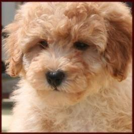 Poochon ckc register puppies