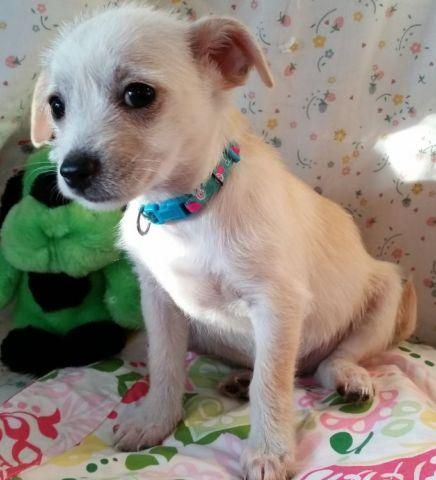 Poodle 1/4 & Chihuahua 3/4 Puppies for Adoption - 2 F -