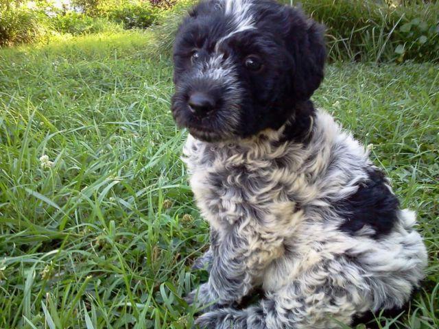 poodle/blue heeler hybrid puppy for Sale in Lynchburg ...