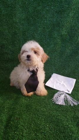 Poodle Maltipoo Toy Puppy Male For Sale For Sale In
