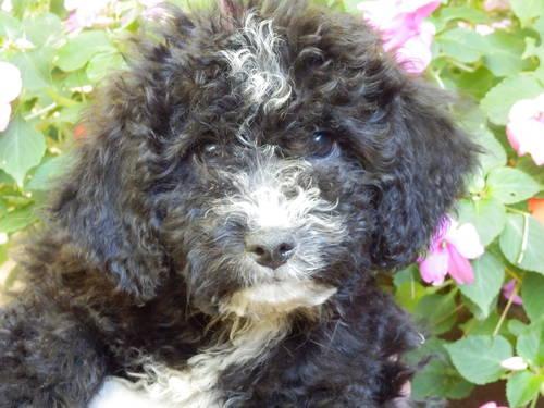 poodle mix puppies cockapoo lap dogs that love. Black Bedroom Furniture Sets. Home Design Ideas