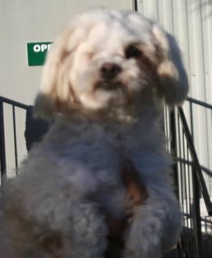 Poodle - Oliver - Small - Adult - Male - Dog